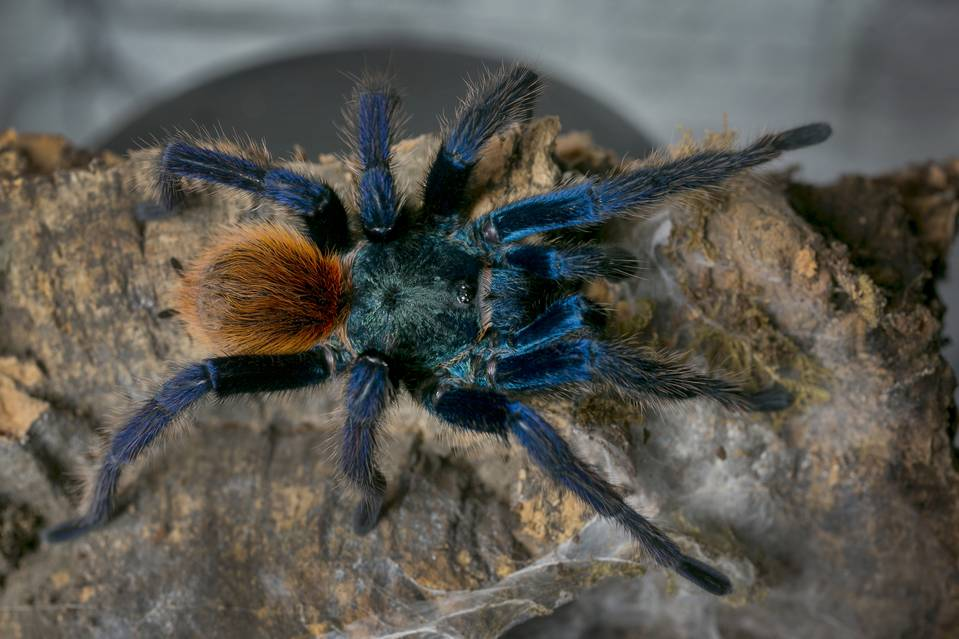 Scientists Target New Painkillers From Spider Venom